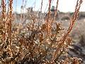 Artemisia pygmaea — Matt Lavin 002.jpg