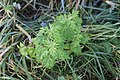 Artemisia vulgaris 107823165.jpg