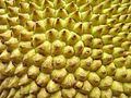 Artocarpus heterophyllus - Flickr - Alex Popovkin, Bahia, Brazil (5).jpg