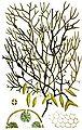 Ascophyllum nodosum (plate).jpg