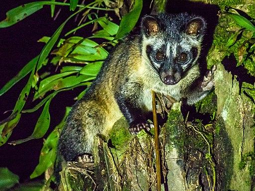 Asian Palm Civet (14157389395)