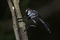 Asilidae-Kadavoor-2016-04-10-001.jpg