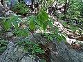 Asimina parviflora bush.jpg