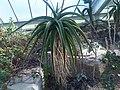 Asparagales - Aloe helenae 1.jpg
