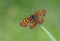 Assmann's Fritillary - Mellicta britomartis.jpg