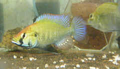 Astatotilapia sp.