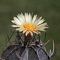Astrophytum capricorne var. niveum (7468869576).jpg