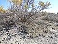 Atriplex gardneri growing under Sarcobatus (5041782127).jpg
