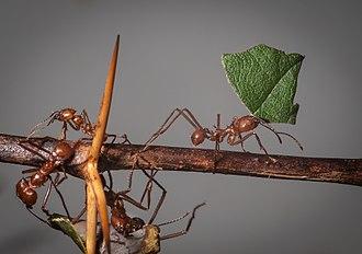 Leafcutter ant - Atta cephalotes, Wilhelma Zoo, Stuttgart