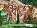 Attacus atlas-botanical-garden-of-bern 19.jpg