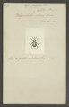 Auletes - Print - Iconographia Zoologica - Special Collections University of Amsterdam - UBAINV0274 030 01 0047.tif