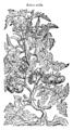 Aurea mala 455 Dodoens 1583.png