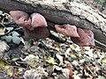 Auricularia auricula-judae 104132849.jpg