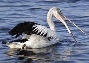 Australian Pelican Fishing.JPG