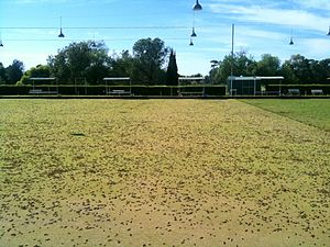 Australian plague locust - A small, high-density swarm of C. terminifera resting on a bowling green at Berrigan, New South Wales in December 2010