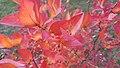 Autumn blueberry.jpg