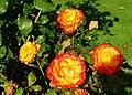 Autumn roses, Botanic Gardens, Belfast (1) - geograph.org.uk - 984719.jpg