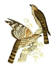 Aviceda madagascariensis 1868