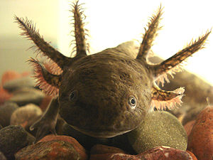 Environmental protection - The axolotl is an endemic species from the central part of Mexico