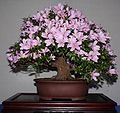 Azalea bonsai 2 email.jpg