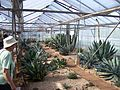 BCSS gloucester branch auction - The national agave collection (6207028769).jpg