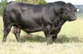 BIG Angus bull..png