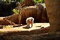 Baboon! (4565240590).jpg