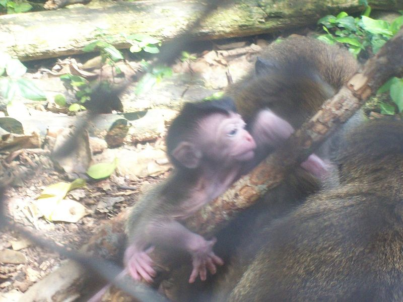 File:Baby Crab-eating Macaque 2.jpg