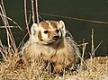 Badger on Seedskadee National Wildlife Refuge 02 (13676755544).jpg