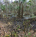 Bald Cypress swamp 2.jpg