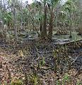 Bald Cypress swamp 2.jpg