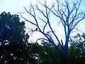 Bald Eagle - panoramio (3).jpg
