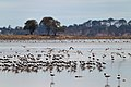 Banded Stilts and Red-necked Avocets (24414103461).jpg