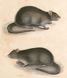 Lesser Bandicoot Rat Wikipedia