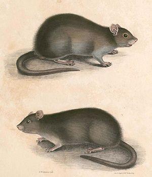 Bandicota - Bandicota bengalensis