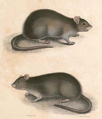 Lesser bandicoot rat - Image: Bandicota bengalensis Hardwicke
