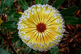 Banksia in the Blue Mountains.jpg