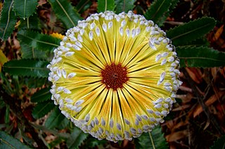 <i>Banksia</i> A diverse genus of exquisitely flowered Australian [[Proteaceae]].