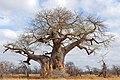 Baobab (Adansonia digitata) (32991107202).jpg
