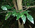 Baphia racemosa, loof en bas, Umhlanga-strandmeer NR.jpg