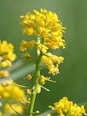 Gelbbluhende Kreuzblutengewachse Looduskalender Ee 6