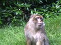 Barbary macaque at Trentham Monkey Forest.jpg
