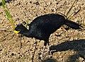 Bare-faced Curassow (Crax fasciolata) male (31597282442).jpg