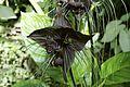 Bat Flower 4519.jpg