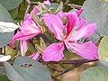 Bauhinia purpurea wBuds atHampi Karnataka.jpg