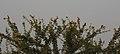 Baya Weaver Ploceus philippinus by Dr. Raju Kasambe DSCN0233 (7).jpg