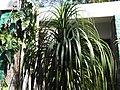 Beaucarnea recurvata-BSI-yercaud-salem-India.JPG