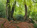 Beeches in autumn (10493522356).jpg