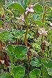 Begonia de Cera - Photo (c) Dick Culbert, algunos derechos reservados (CC BY)