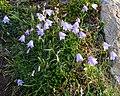 Bellflower (Campanula sp.) - Bonavista, Newfoundland 2019-08-13.jpg